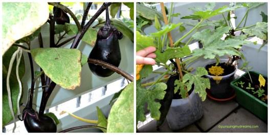 Foto Kiri Terongku sudah Berbuah. Foto Kanan 2 pot tanaman Zucchini, senang nanam doang dimakan nga