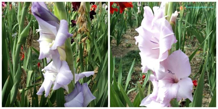 Bunga Gladiol Ungu Muda dan Putih