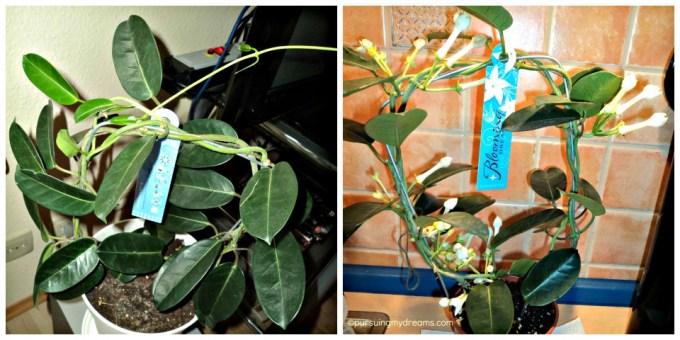 Stephanotis. Madagascar Jasmine wanginya kuat sekali. Bunganya digunakan pada wedding bouquets. Kiri foto terbaru 26.08.2013. Kanan ketika Baru Beli 28.06.2013