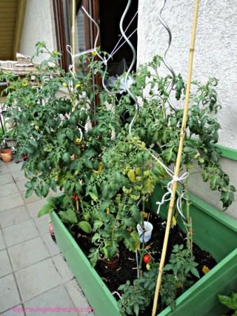5 Jenis Tomat
