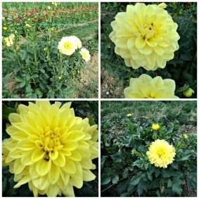 Bunga Dahlia Kuning