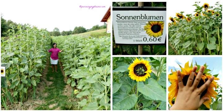 Ladang Bunga di Jerman. Bagian Kebun Bunga Matahari. Tanamannya Jumbo euy