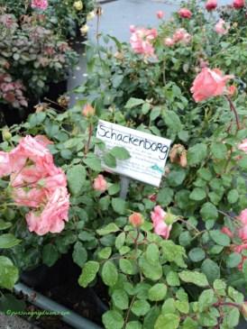Schackenborg rose