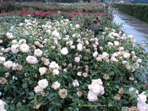 Kumpulan Mawar yang Pendek
