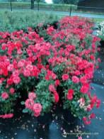 Gejreng warna Mawar Merah