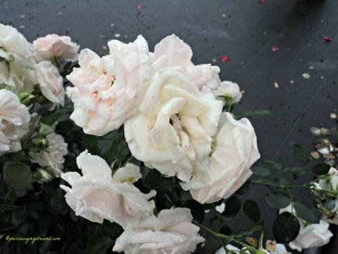 Zoom Aspirin Rose