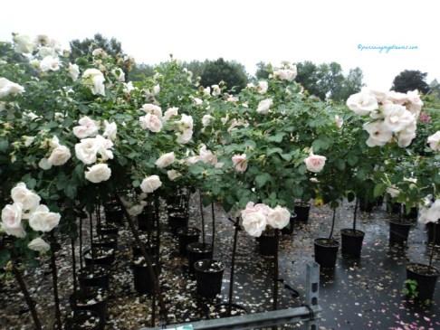 Mawar Putih Aspirin