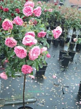 Pohon Mawar Pink, kelopaknya berlapis-lapis