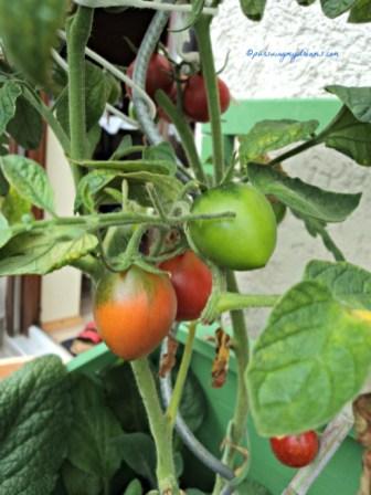 Tomat Lonjong