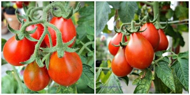 Tomatnya unik bentuknya seperti buah Pir