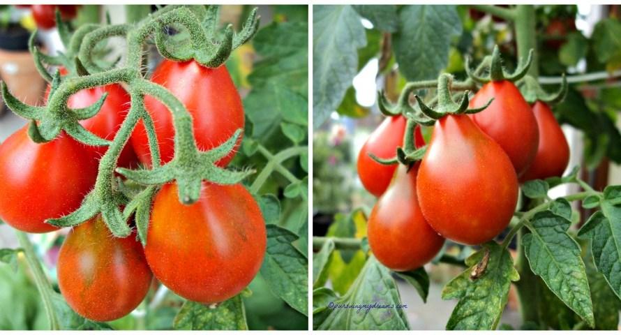 Menanam Tomat dari Bibitnya