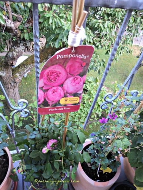 Jenis Mawar Floribunda, namanya Pomponella