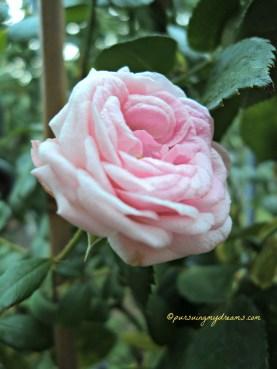Mawar Pomponella Ketika mekar