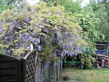 Wisteria Sinensis Purple