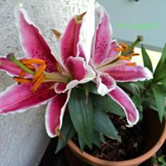 Lili Oriental Red White