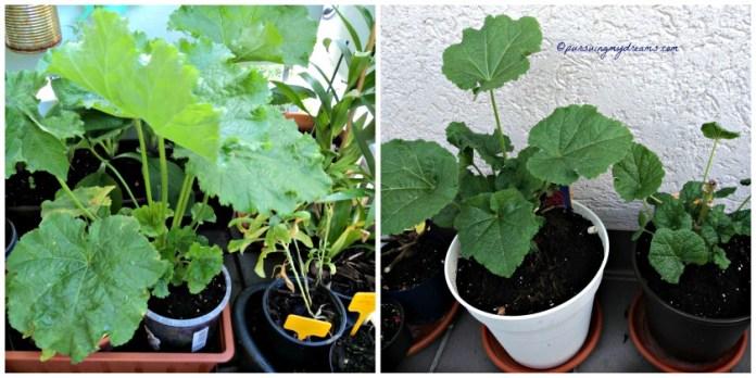Hollyhocks di Jerman namanya Stockrose. Foto Kiri itu nanam dari benihnya, sedangakan kanan beli jadi tanamannya waktu itu kecil banget. Sudah dikasih tanah baru
