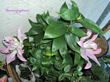 Lili Casablanca Bunga lainnya sudah mekar