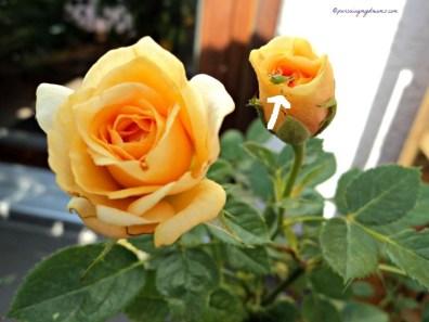 Kutu (aphid) lihat tanda panah. Kutu kerap kali menyerang bunga mawar saya, terutama hinggap di daun-daun muda yang baru muncul