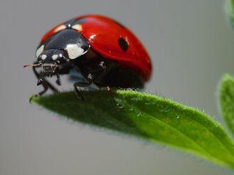 Ladybird atau Ladybug. kumbang koksi atau Kepik Vedalia cardinalis dikenal sebagai sahabat petani karena beberapa anggotanya memangsa serangga-serangga hama seperti kutu daun
