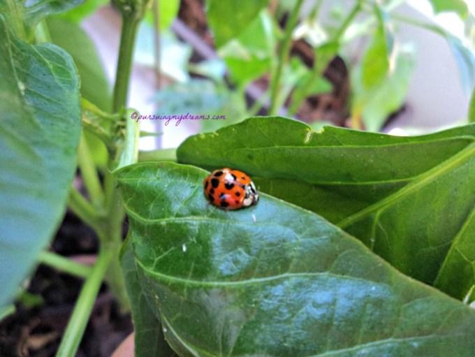 Kumbang Koksi Serangga Baik yang Lucu bentuknya. Ladybug atau kumbang koksi pada tanaman Cabe ku. Untung sudah tahu kalau kumbang ini serangga baik yaa