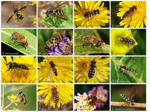 Larva Hoverflies, adalah insektivora dan memangsa kutu daun, thrips dan serangga penghisap tanaman lainnya