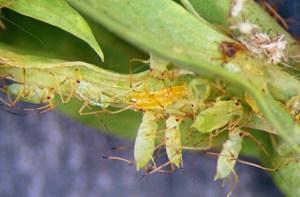 Larva predator midge Aphidoletes aphidimyza (tengah) di antara kutu daun kacang. Sumber Foto: Wikipedia