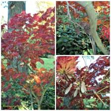 Apakah ini Pohon Japanese Maple?