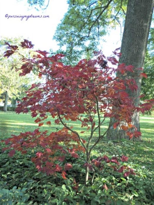 Apakah ini pohon Maple Jepang?