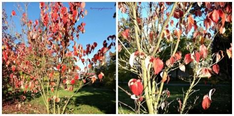 Warna daunnya menjadi merah dan sudah mulai rontok