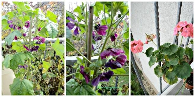 Foto kiri dan tengah Bunga Mallow  (Malva Sylvestris), kanan Geranium kedua bunga tersebut saya tanam dari benihnya, maish bertahan hingga suhu 5 derajat