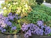 yang ungu bunga Aster, dibelakangnya Hortensia putih mulai mengering