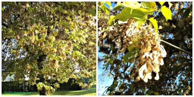 Pohonnya tinggi sekali, bunganya sudah mengering