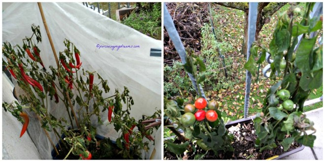Tanaman Cabe Spanyol dan Cabe Cherry terpaksa di Panen karena sudah kedinginan