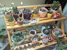 Kaktus-kaktus kecil bisa ditaruh di rak tanaman