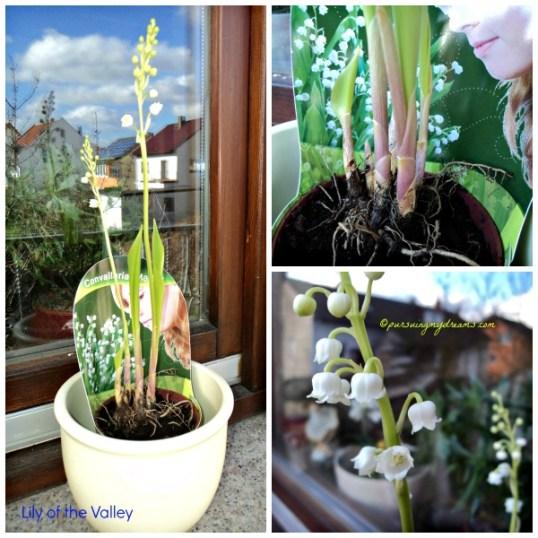 Maiglöckchen (Convallaria majalis). Lily of the Valley
