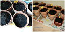 Pot-pot bibit bunga-bunga musim semi siap naik ke loteng rumah, ditaruh luar rumah kalau sudah mulai tumbuh
