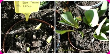 Tulip kanan yang daunnya lebat itu bibit dari 2 thn lalu saya tanam lagi, ga akan bebrunga krn umbinya ciutt, jadi mau besarin dulu