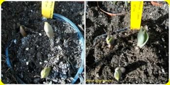 Kalau bibit tulip ditanam dipot kecil maka ukurannya juga kecil, bandingkan deh yg saya tanam dipot besar