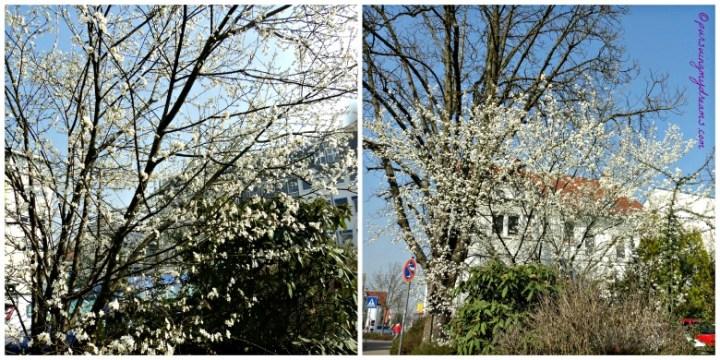 Pohon Musim semi tidak tahu namanya