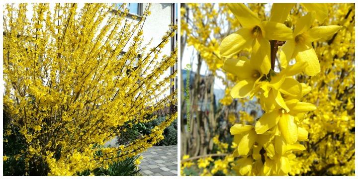 Pohon Musim semi, berbunga dulu lebatt setelah bunga rontok baru tumbuh daun-daunnya. Forsythia in full bloom Forsythias are popular early spring flowering shrubs in gardens and parks