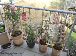 Mawar-mawarku 3 pot sudah diganti dengan tanah baru dan dikasih pupuk untuk masa 6 bulan