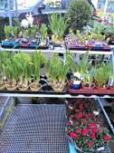 Hyacint, Narcissus, Mawar ahhh senangnya selamat datang musim semi 2014