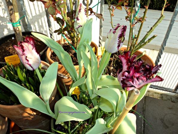 Black Parrot Tulip. Foto 14.03.2014