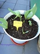 Tulip Salmon Imp. sudah dipotong, tinggal bongkar potnya dan bersihkan umbinya