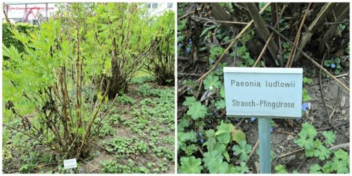 Pohon Bunga Peony Ludlowii. Strauch-Pfingstrose. Peony ludlowii