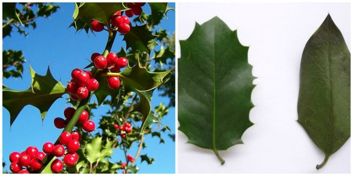 Ilex aquifolium. English holly, Christmas holly. Foto dari wikipedia