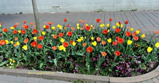 Bagusnya tulip-tulipnya