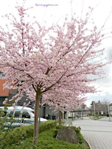 Pohon sakura adalah salah satu pohon yang tergolong dalam familia Rosaceae, genus Prunus