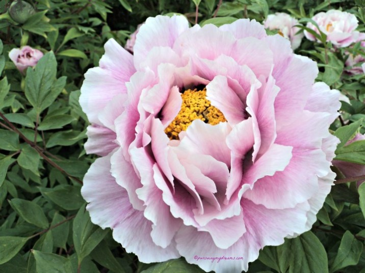 Peony close-up