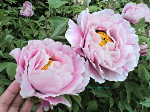 Bunga Peony yang ini wangi